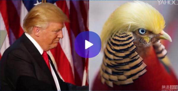 Pájaro se hace famoso por tener el mismo cabello que Trump